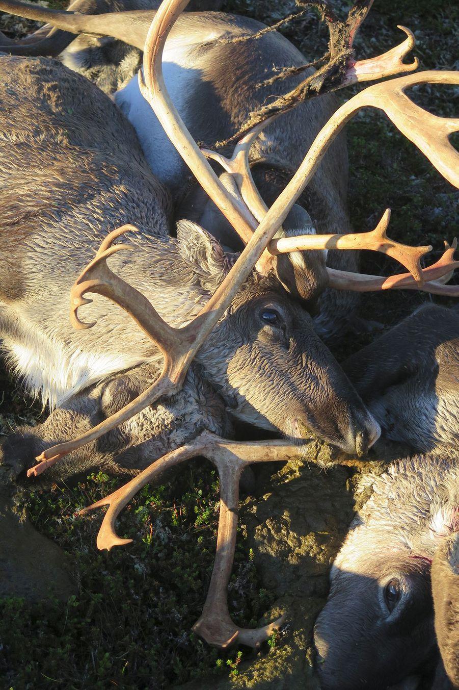 Norvège : Plus de 300 rennes foudroyés simultanément
