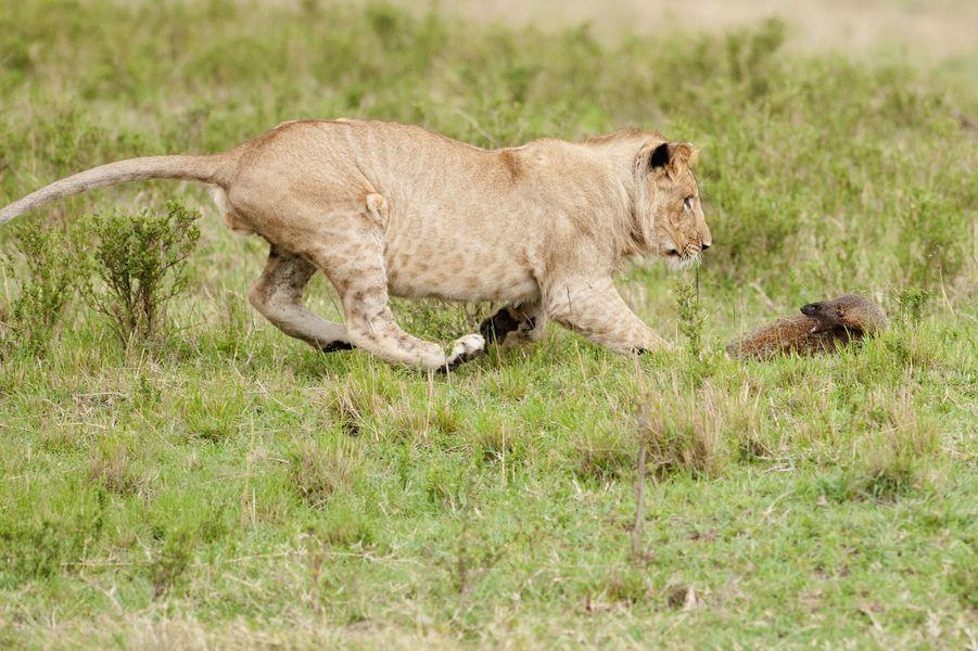 Une mangouste face à des lions