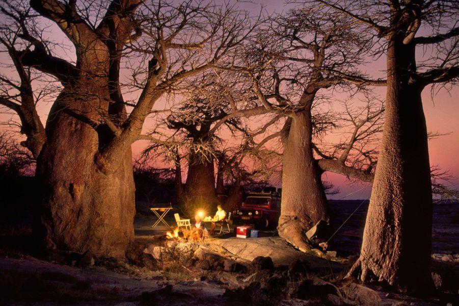 Les grands arbres du Botswana