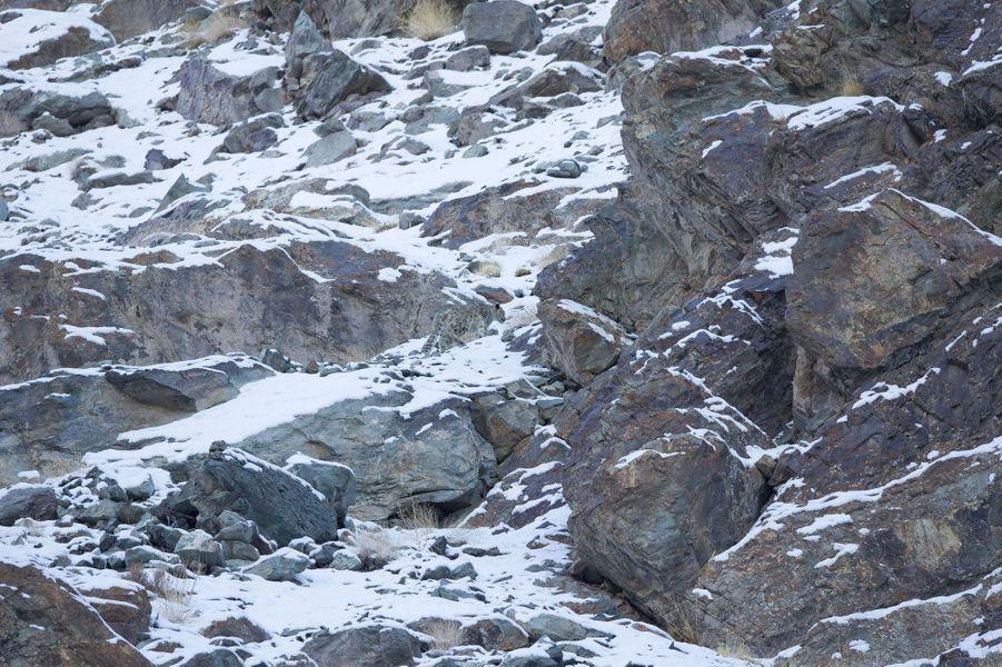 Trouvez les léopards des neiges