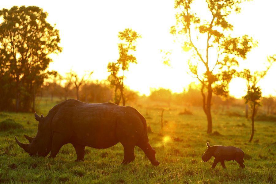 Bella et son nouveau-né se baladent dans le sanctuaire dédié aux rhinocéros deNakasongola, en Ouganda.