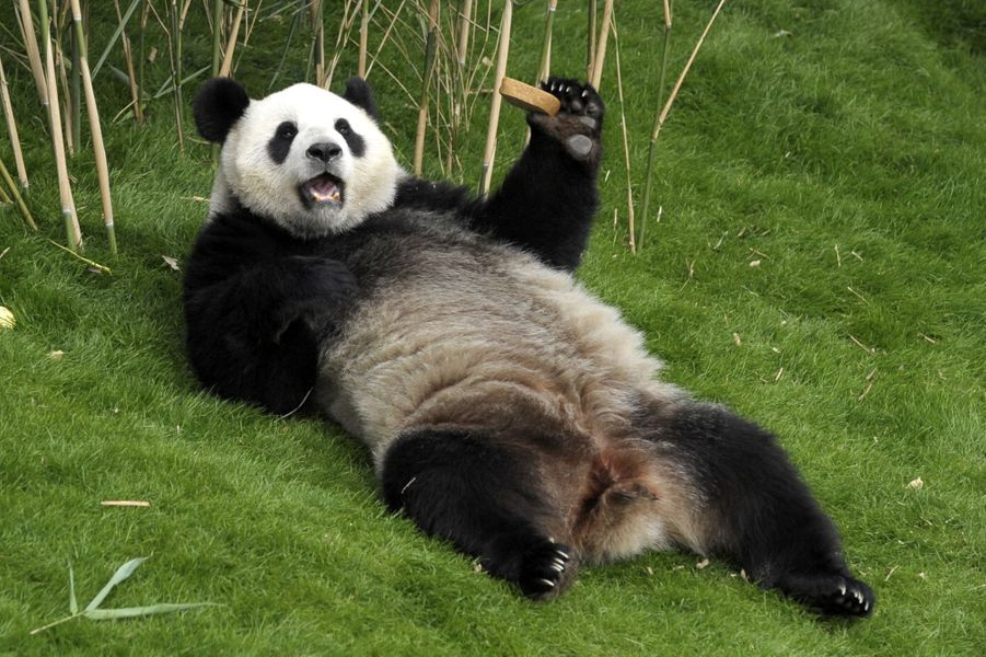 Peu importe si le roi et la reine de Belgique, accompagnés du président chinois et son épouse sont venus le voir:Hao Hao, le panda du zoo de Bruxelles, a la vie belle.