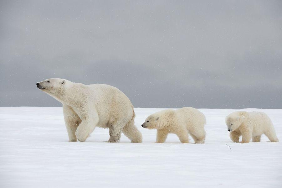 Malgré une patte cassée, cette ourse polaire guide ses petits à travers les glaces de l'Alaska.