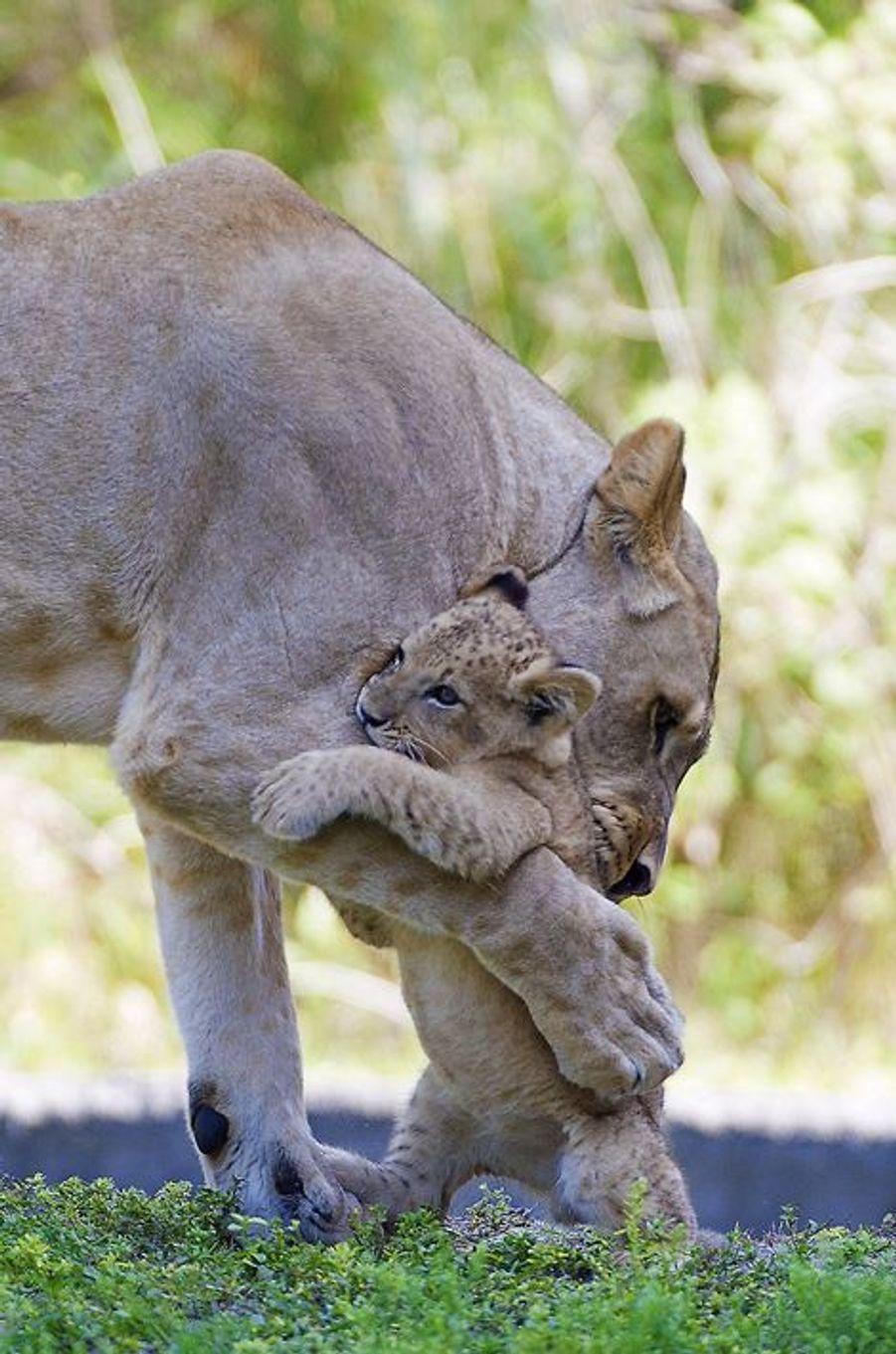 Un des derniers instants de complicité entre la lionne Asha et son petit Kwasi, au zoo de Miami: la mère est décédée quelques jours après cette photo lors d'une opération de chirurgie.