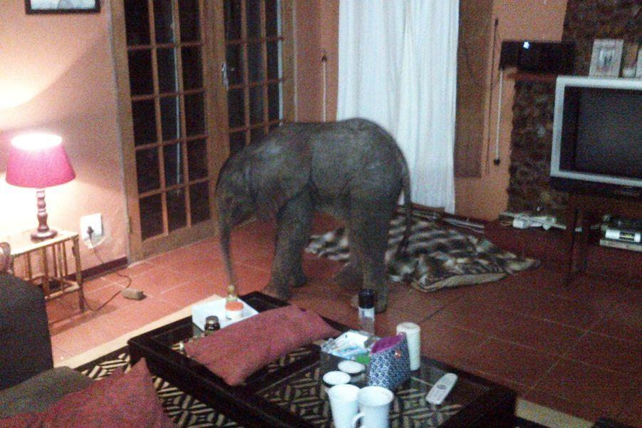 Âgé de dix jours, ce petit éléphanteau a déjà vu du pays: il a atterri dans le salon d'habitants deZululand, en Afrique du Sud, après avoir marché pendant des dizaines de kilomètres. Ses hôtes l'ont nourri et s'en sont occupés pendant que les rangers cherchaient sa mère.