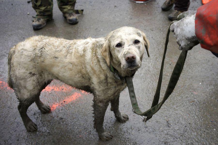 Tyron est un des chiens dépêchés sur les lieux du glissement de terrain qui a eu lieu le weekend dernier dans l'Etat de Washington, aux Etats-Unis.