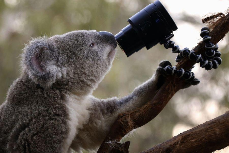 Ce koala du zoo de Sydney joue avec une des caméras placées dans son enclos.