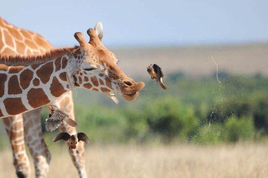 Lorsqu'une giraffe éternue, les oiseaux fuient.