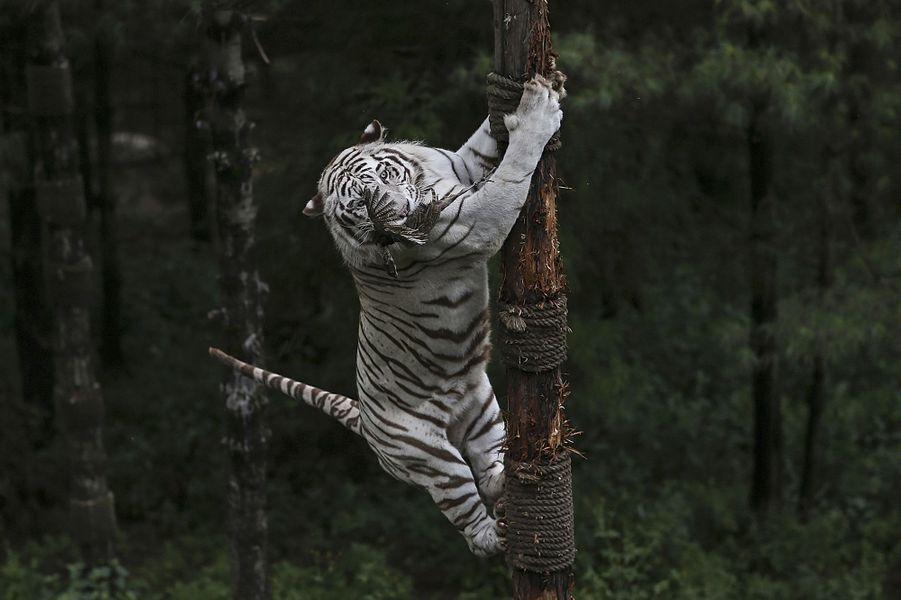 Une tigresse attrape au vol un faisan lancé par un soigneur duYunnan Wildlife Park, en Chine.Retrouvez tous nos diaporamas Environnement et sciences.