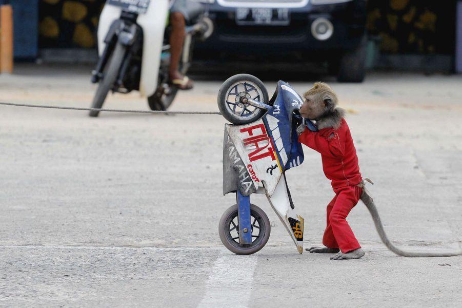 A Bintan, en Indonésie, le singeSarimin a été dressé pour accomplir quelques prouesses devant des spectateurs.Retrouvez tous nos diaporamas Environnement et sciences.