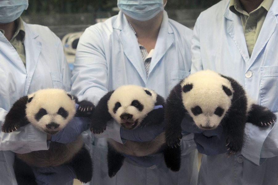 Les petits triplés pandas duChimelong Safari Park, en Chine, grandissent sous l'objectif des photographes.Retrouvez tous nos diaporamas Environnement et sciences.