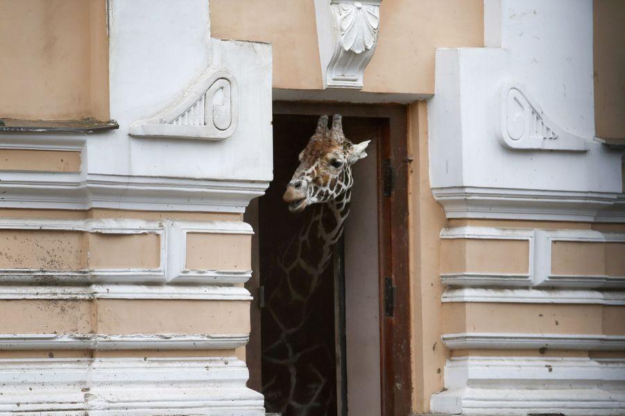 Une girafe passe la tête à travers une porte de son enclos, qui la protège de la pluie, au zoo de Moscou.Retrouvez tous nos diaporamas Environnement et sciences.