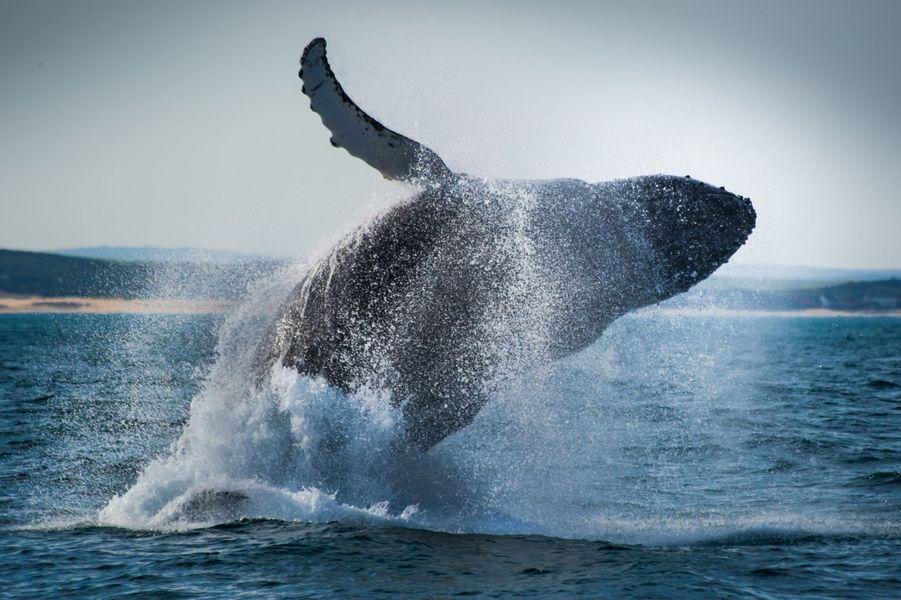 Une baleine à bosse saute dans les eaux dePort Elizabeth, en Afrique du Sud.Retrouvez tous nos diaporamas Environnement et sciences.