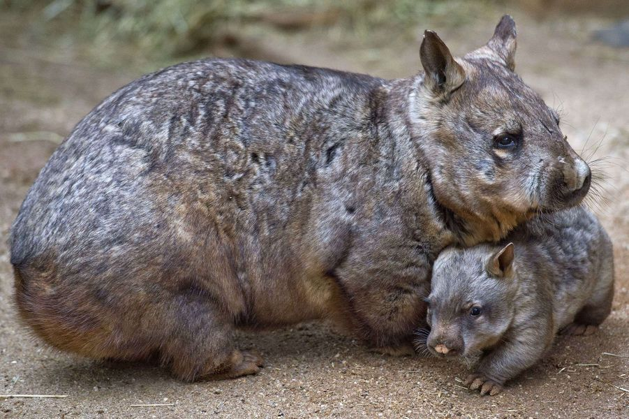 Jedda le petit wombat reste près de sa mère Jumanji, au sein du zoo de Melbourne, en Australie.Retrouvez tous nos diaporamas Environnement et sciences.