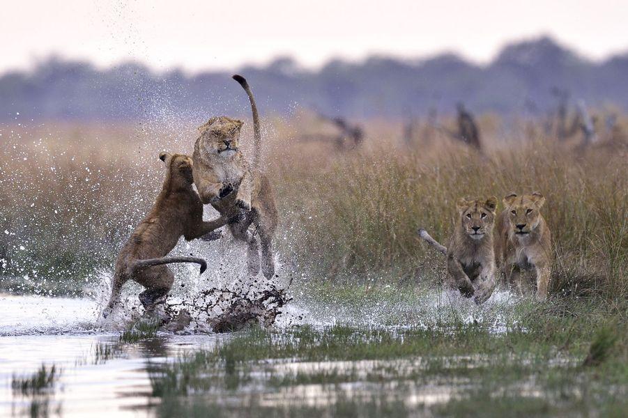 Le photographe Andy Skinner a capturé un instant de jeu entre quatre jeunes lions au sein duChobe National Park, au Botswana.Retrouvez tous nos diaporamas Environnement et sciences.
