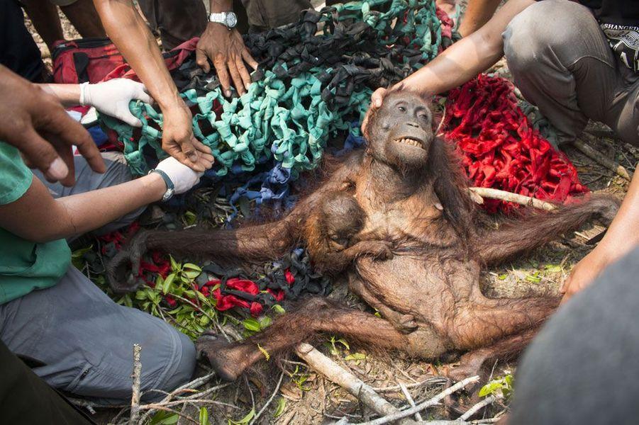 """Une mère et son bébé orang-outan contraints de fuir les feux de forêt à Bornéo. Ils ont été attaqué par une foule de villageois et ont été sauvé grâce à l'aide d'une équipe d'International Animal Rescue. Ils ont ensuite été libérés dans une zone de forêt protégée. – Kalimantan, Bornéo.Chaque semaine, Paris Match sélectionne, sur le web et dans le magazine, vos plus beaux clichés pour la planète dans le cadre de son opération""""Ma Terre en photo"""".Vous aussi envoyez une photo pour la planète surwww.materre.photosParticipez au plus grand album photo de la planète pour l'environnement. Un arbre planté pour chaque photo envoyée !Vos images seront ensuite rassemblées dans un ouvrage qui sera remis à tous les chefs d'Etats et chefs de délégation lors de la Conférence des Nations unies sur le climat (COP21) qui se tiendra à Paris en décembre prochain."""