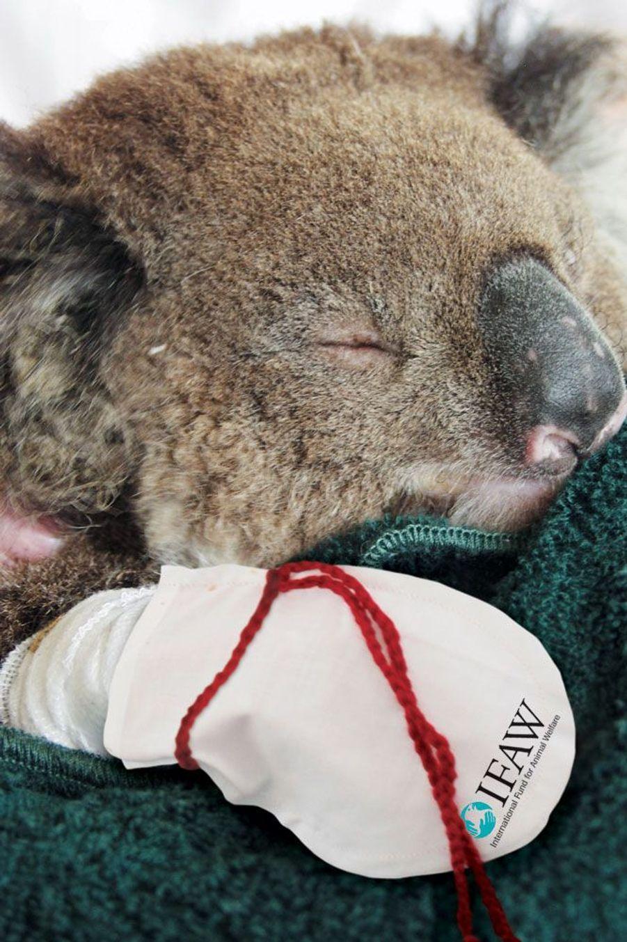 """IFAW: Un koala brûlé lors de feux de brousse en Australie reçoit un traitement d'IFAW comprenant des moufles spécialement conçues pour protéger ses pattes pendant la guérison...avant son relâcher.Chaque semaine, Paris Match sélectionne, sur le web et dans le magazine, vos plus beaux clichés pour la planète dans le cadre de son opération""""Ma Terre en photo"""".Vous aussi envoyez une photo pour la planète surwww.materre.photosParticipez au plus grand album photo de la planète pour l'environnement. Un arbre planté pour chaque photo envoyée !Vos images seront ensuite rassemblées dans un ouvrage qui sera remis à tous les chefs d'Etats et chefs de délégation lors de la Conférence des Nations unies sur le climat (COP21) qui se tiendra à Paris en décembre prochain."""