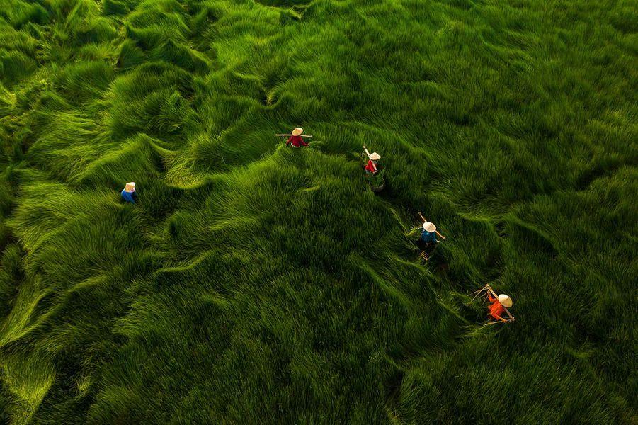 Au Vietnam, le champ d'herbe, haute de plus de un mètre, ressemble à des vaguessous le vent.