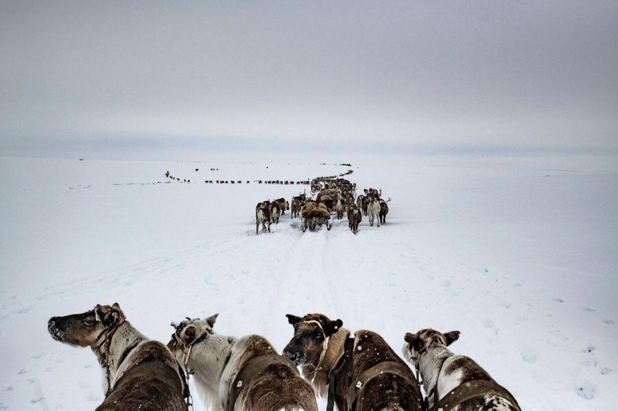 Les Nénètses rassemblent les rennes durant la migration. Depuis des siècles, les gardiens de troupeaux de rennes nénètses migrent vers des pâturages d'été situés sur la péninsule de Yamal, puis retournent dans le sud en hiver. Leur longue marche annuelle de presque 650 km les conduit au nord de la péninsule de Yamal et vers les côtes arctiques.