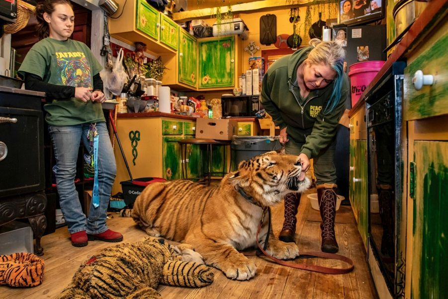 Lori Ensign, propriétaire du Safari Sanctuary à Broken Arrow avec des bénévoles, Shannon Murphy et Amanda Badinger et le tigre Langley qui vit avec Lori,en compagnie des 27 autres félins du refuge, et dort dans un lit superposé .