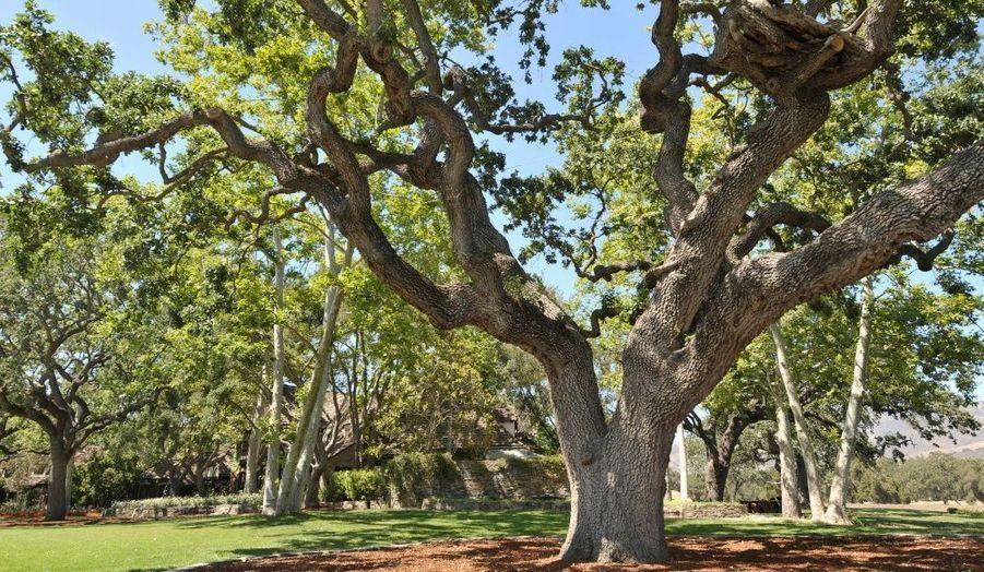 Le grand chêne, véritable source d'inspiration de l'artiste. Michael Jackson y composa de nombreuses chansons, assis sur la plateforme qu'il avait fait construire entre les branches de l'arbre.