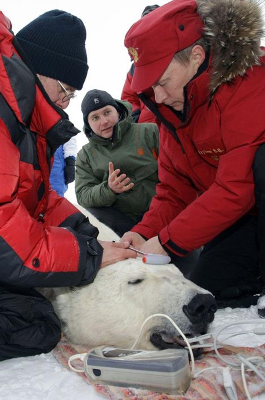 Vladimir Poutine aide à la pose d'un collier GPS sur un tigre au bord de la mer de Barents, en avril 2010