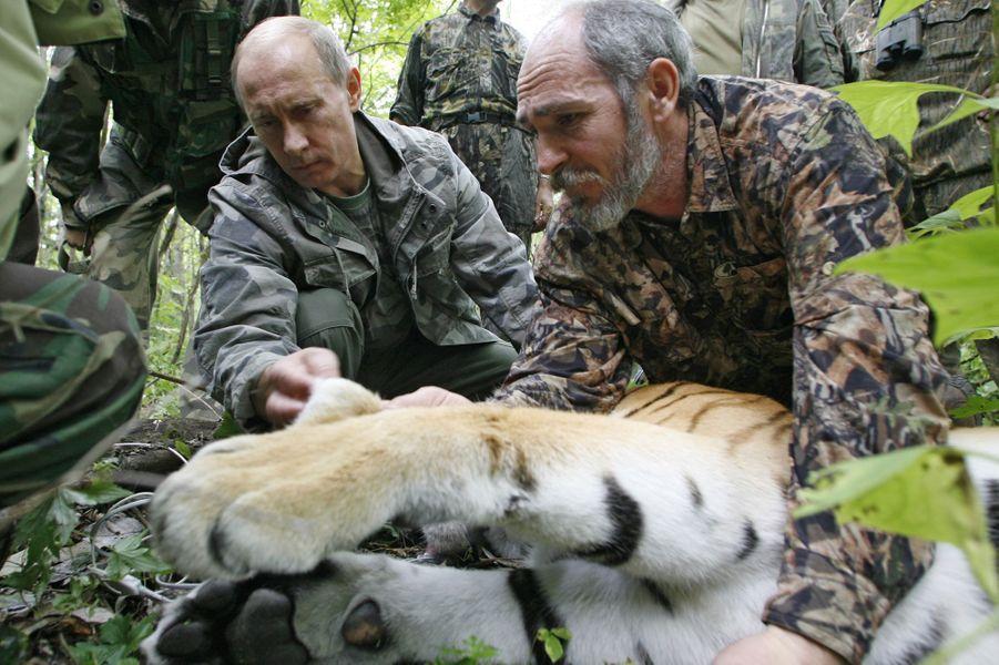 Vladimir Poutine aide à la pose d'un traqueur sur un tigre au sein de la réserve d'Ussuri, en août 2008