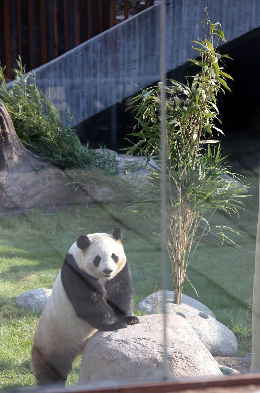 L'un ds pandas chinois du zoo de Copenhague, le 11 avril 2019