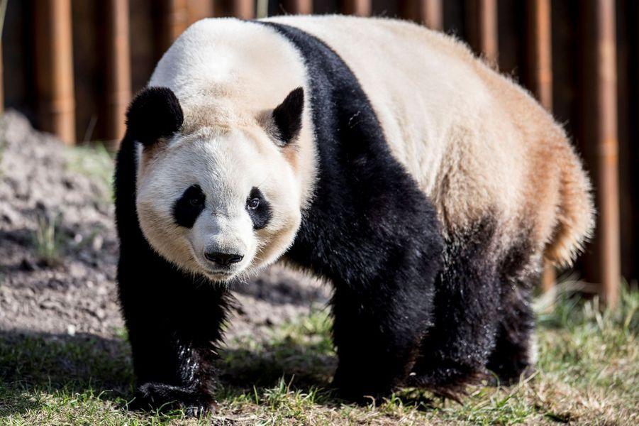 L'un des pandas au zoo de Copenhague, le 10 avril 2019