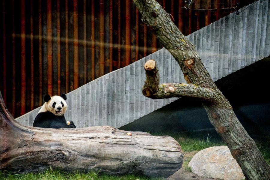 L'un des deux pandas du zoo de Copenhague, le 10 avril 2019