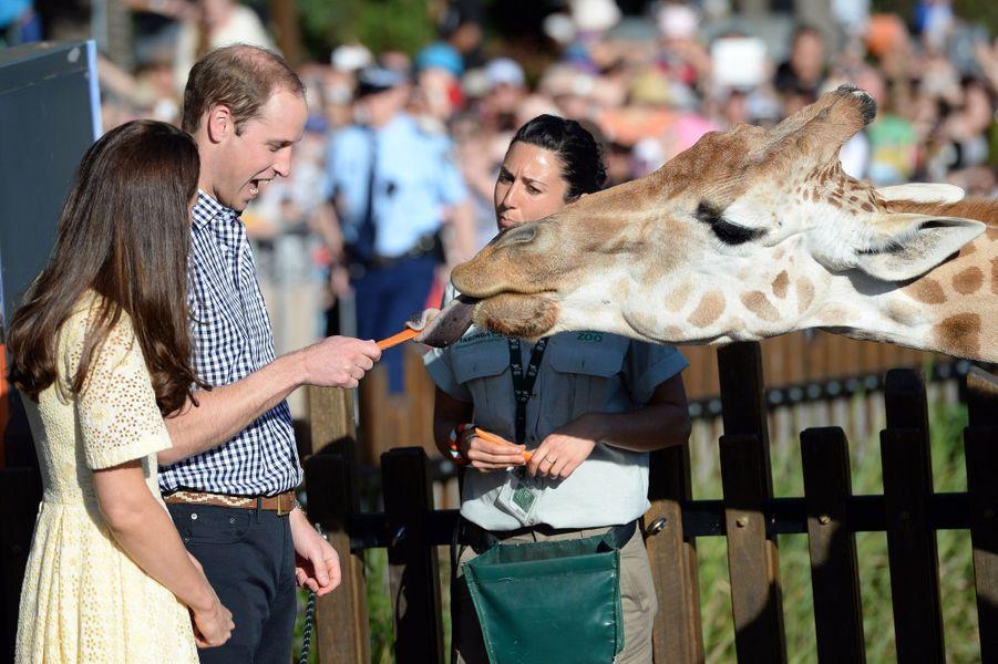 Impressionnante cette langue de girafe, pour Kate et William, à Sydney le 20 avril 2014