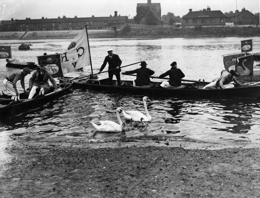 Le recensement annuel des cygnes royaux, le «swan upping», en 1935.