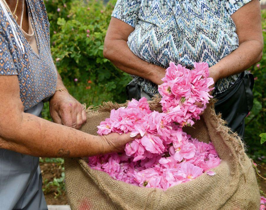 Lacueillette des roses Centifolia réalisée par Katya Laflleur. La famille Lafleur cueille les roses à Grasse depuis au moins 4 générations.