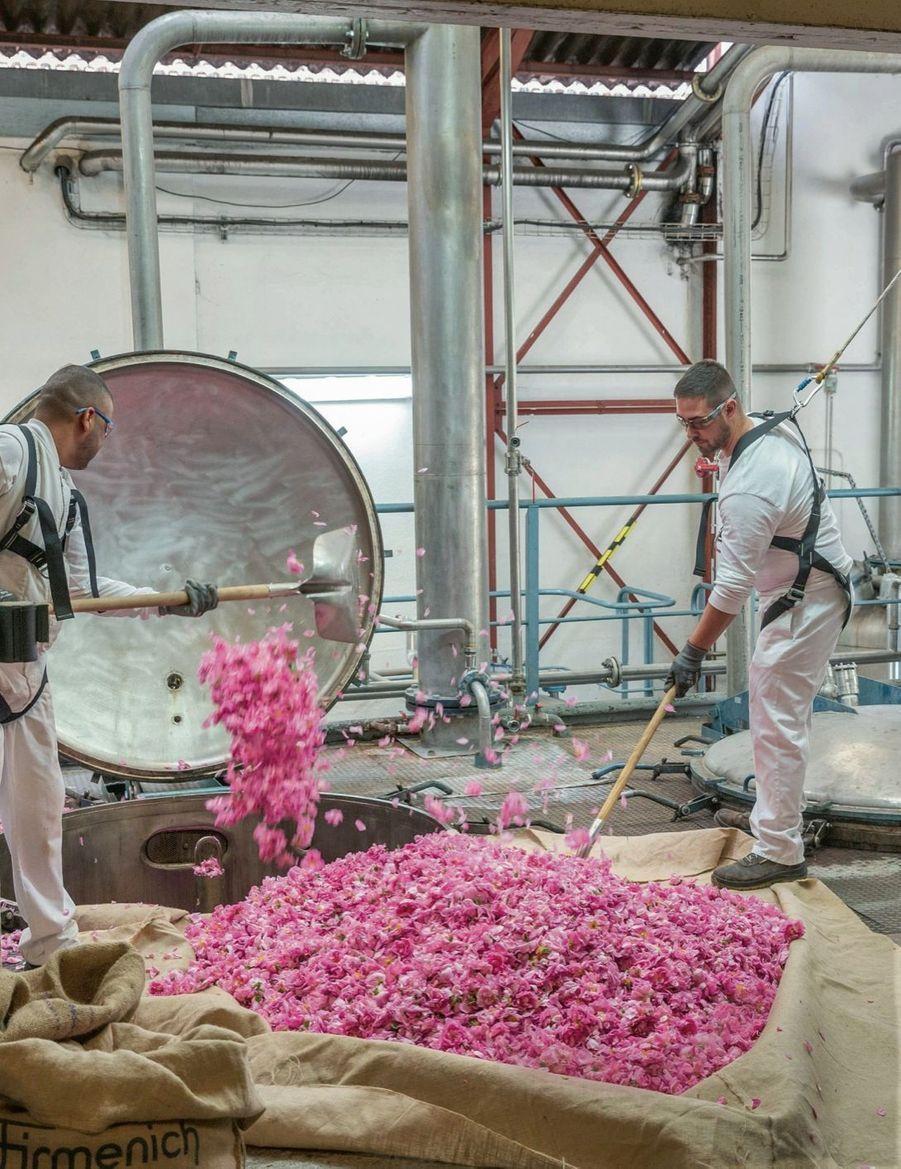 Après la cueillette, les roses sont apportées aux usines (ici chez Firmenich) et aussitôt versées dans les cuves d'extraction.