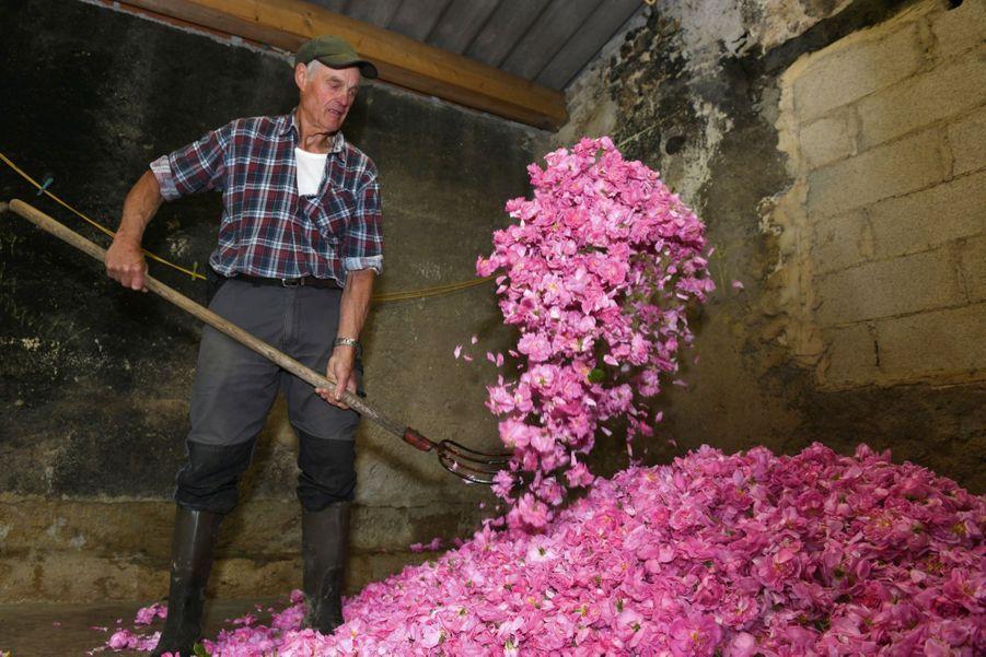 Un producteur de roses Centifolia retire l'humidité des roses fraichement cueillies.