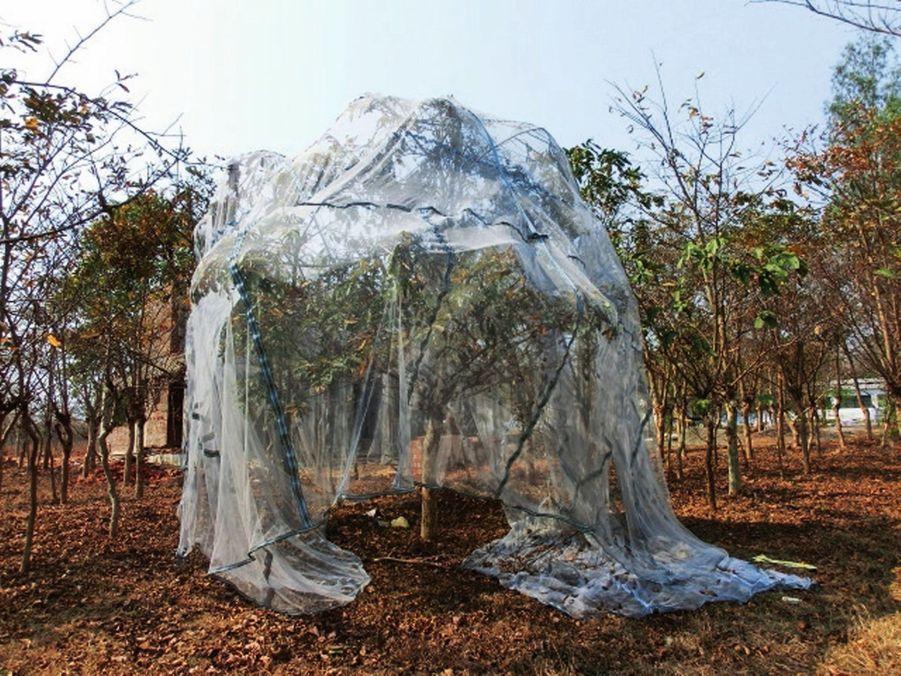 Dans l'Etat de Jharkhand, qui pratique la sériciculture biologique, des filets sont installés sur les arbres pour protéger les feuilles et les vers à soie des insectes.
