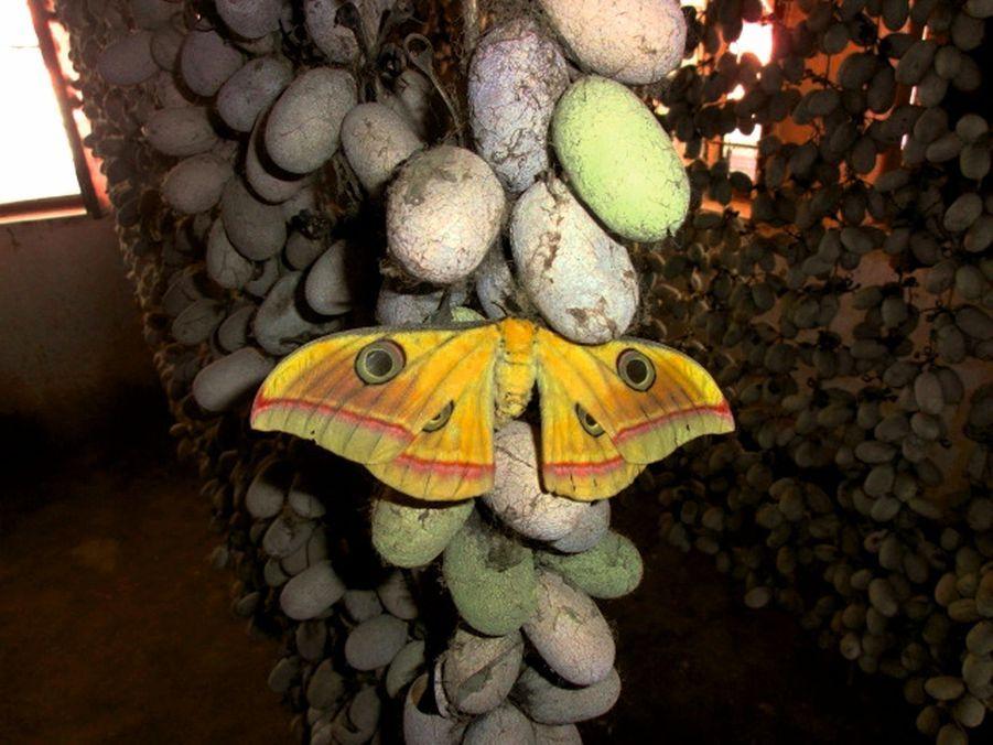 Le papillon bombyx du mûrier sort de son cocon, c'est le moment de l'éclosion.