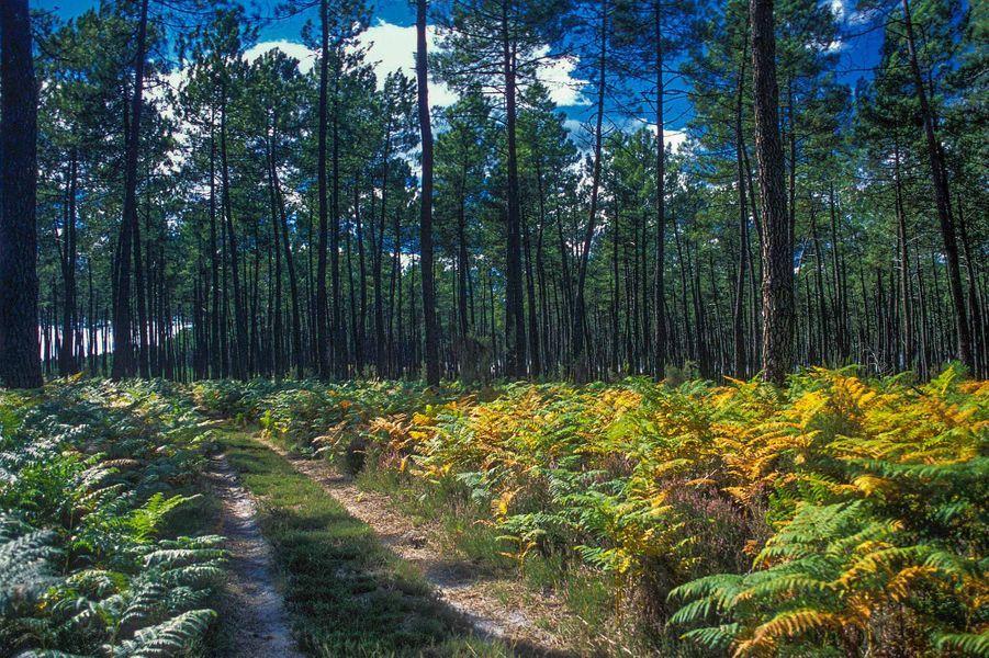 La forêt des Landes (Landes).