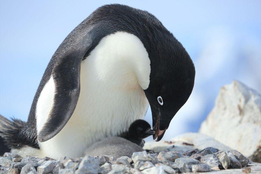 Trois semaines de navigation en Antarctique, au plus près des icebergs, des manchots et des baleines. Les plus belles images d'une croisière-aventure sur les traces de Charcot.26 décembre, île Yalour. Sur son nid de cailloux soigneusement assemblés, un manchot Adélie nourrit son minuscule poussin, peut-être né à Noël. Cette espèce, endémique à l'Antarctique, est bien équipée contre le froid : les plumes recouvrent même une partie du bec.