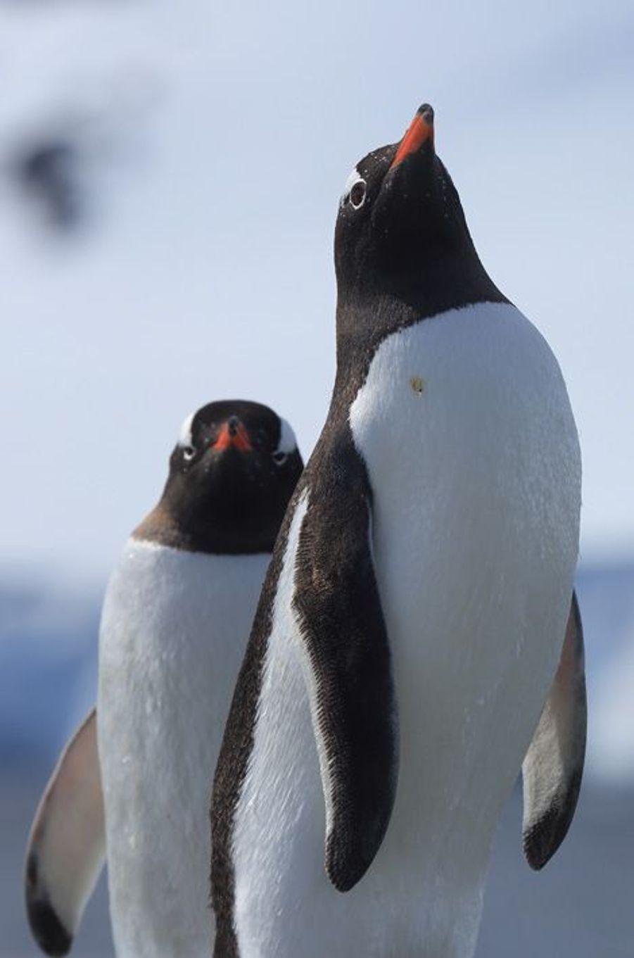 30 décembre, près de Yelcho. Ces manchots papous sèchent leurs plumes face à la brise après la pêche. Ils sont plus frileux que les Adélie. En raison du réchauffement climatique, on les trouve de plus en plus au sud dans l'Antarctique.