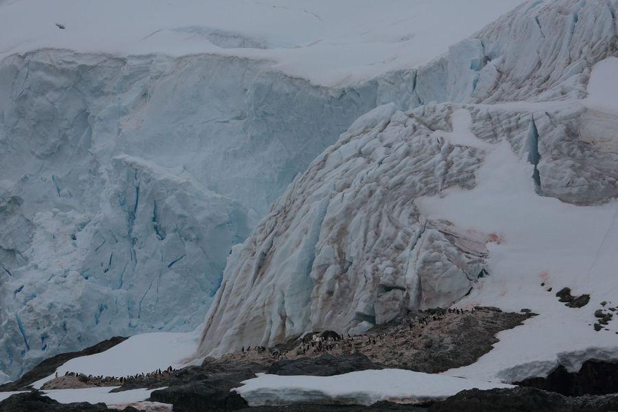 """2 janvier sur la péninsule, à Charles Point. Une colonie de manchots papous, au pied d'une paroi de 80 mètres de hauteur. Périlleux, car les glaciers """"vêlent"""", lâchant d'immenses blocs qui deviendront des icebergs."""
