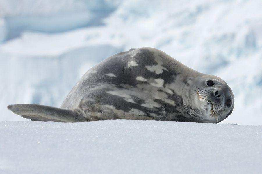 Un phoque de Weddell se repose sur un petit iceberg. Mignon mais il pèse une demi-tonne et remporte la médaille d'argent de plongée chez les phoques (après l'éléphant de mer) : 900 mètres.
