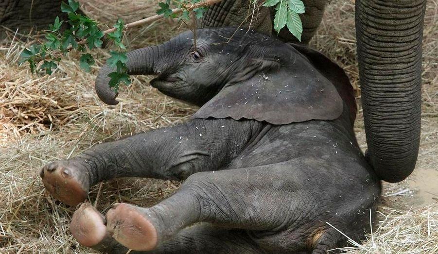 Cet éléphant africain n'a même pas encore de nom. Il est né le 6 août dernier au zoo de Vienne. il mesurait 93 centimètres et pesait 112 kilos.