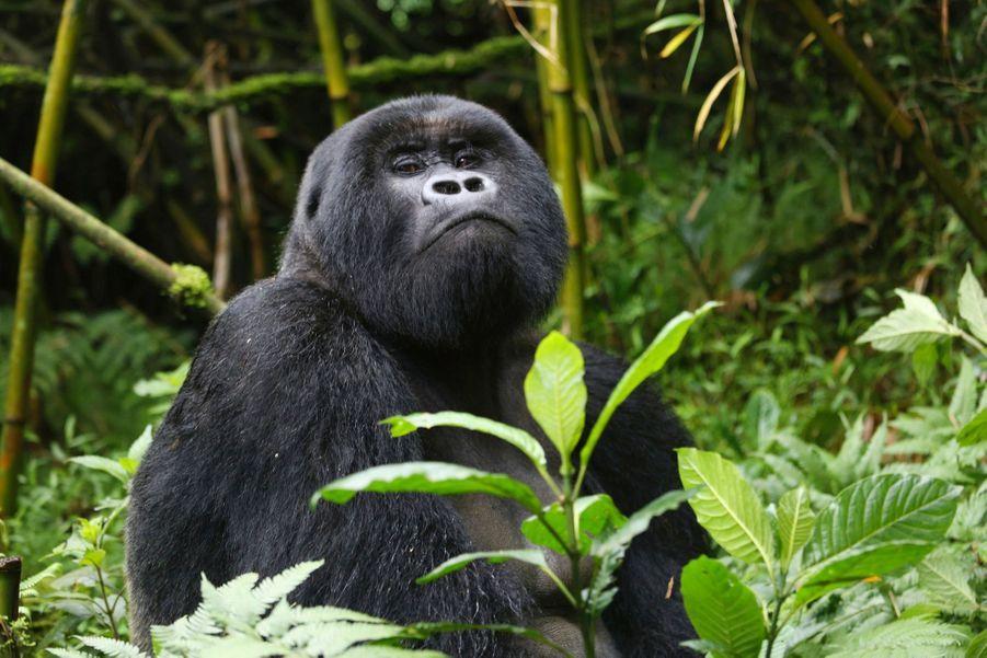Un des 37 membres du groupe Susa. Près de 25 kilos de nourriture par jour, c'est la quantité nécessaire à cet herbivore de 300 kilos.