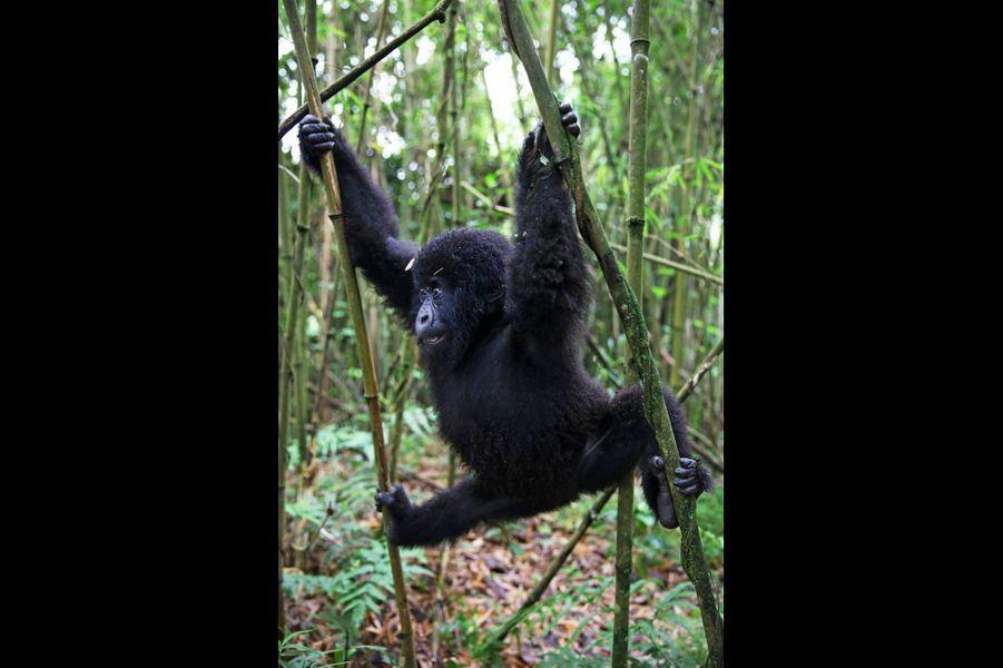 Joueurs, les jeunes gorilles se livrent à toutes les acrobaties.