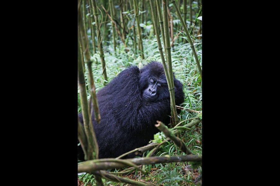 Il n'y a plus que 250 gorilles sur ce territoire à cheval entre la République démocratique du Congo, l'Ouganda et le Rwanda.