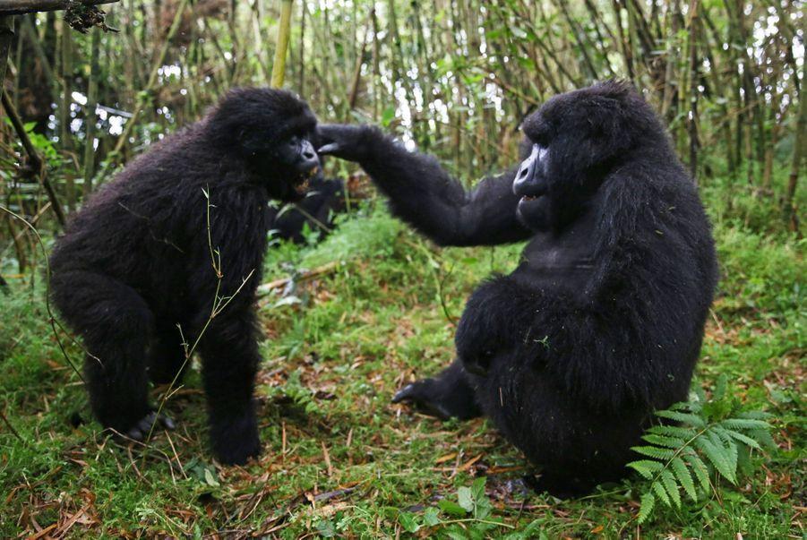 Les relations sociales entre les gorilles sont complexes, de amitié à la rivalité.