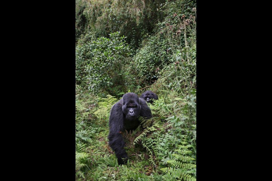 « Gorilla beringei beringei » est une espèce en danger critique d'extinction. La prise de conscience devient réelle et la campagne de sauvegarde menée alors porte ses fruits.