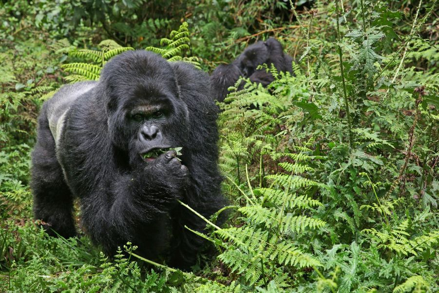7 familles de gorilles sont visitées, 3 autres sont réservées à l'étude scientifique