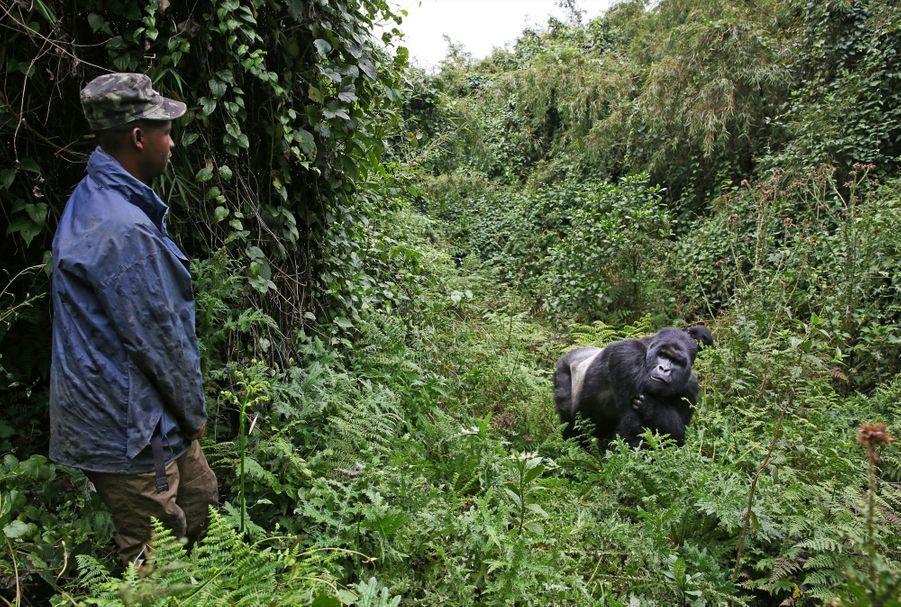 Près de 176 rangers ont perdu la vie depuis trente ans en luttant contre les contrebandiers et les factions qui s'entre-déchirent en RDC. Mais les résultats sont là. Aujourd'hui, on dénombre plus de 1 004 gorilles (ils étaient 880 au début 2010).